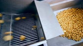amido : Clean potatoes falling into a metal container from a conveyor at a factory.
