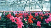 garnek : Many pots with cyclamen flowers stores in rows inside a greenhouse.