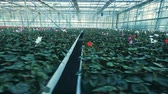 vibráló : Many pots with cyclamen flowers, growing in a greenhouse.