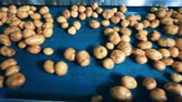 lavado : Top view of wet potato tubers moving along the conveyor