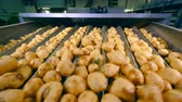 kök : Cleaned potato tubers are shaking and moving along the transporter Stok Video
