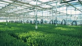 bloembollen : Green plants grow in rows inside a big greenhouse.