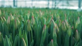bloembollen : Fresh tulip heads, growing plants in a glasshouse. Stockvideo