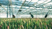 padrão floral : Women pick tulips from ground while working in a glasshouse.