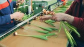 bloembollen : Gardeners placing tulip flowers onto a modern conveyor to cut bulbs.