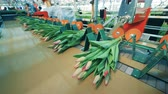 cachos : Automated machine ties bunches of tulips with strings in a glasshouse. Vídeos