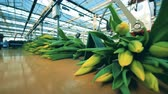 cachos : Automated conveyor moving bunches with yellow tulips in a modern glasshouse. Vídeos