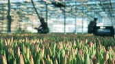 Workers in the hothouse with unblown tulips Filmati Stock