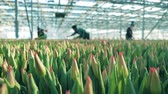 munkatársai : Greenhouse workers are collecting tulips Stock mozgókép