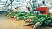 Pink tulips are moving along the conveyor in parts