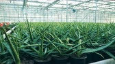 Aloe is growing in pots in the greenery Filmati Stock
