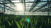 padrão floral : Rows of tulips grow in flower beds in a glasshouse. Stock Footage