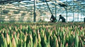 flower bed : Greenhouse workers collect pink tulips from ground. Stock Footage