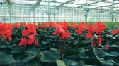 горшках : Red cyclamen flowers grow in a big greenhouse.