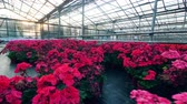 horticultura : Massive greenery with red and pink flowers