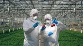 technikus : Biologists inject red tomatoes with a syringe, working in a glasshouse.