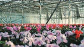 crescido : Red and pink cyclamen flowers grow in pots in a greenhouse.