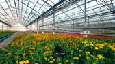 горшках : Potted flowers are growing in a spacious glasshouse Стоковые видеозаписи