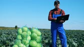 plant fertilizer : Man works with laptop while checking fresh cabbage on a field.