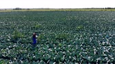 plant fertilizer : Male agronomist checks field with cabbage, working with laptop.