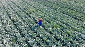 couve : Top view of a male agronomist walking along the cabbage field