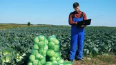 káposzta : Agricultural worker works with laptop while checking cabbage.