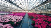 horticultura : Many pots with pink flowers in a greenhouse.