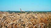 gabonafélék : Ears of wheat are swinging in the wind