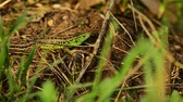 脊椎動物 : Sand lizard. Lacerta agilis in the sun.
