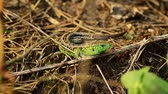 脊椎動物 : Sand lizard. Lacerta agilis in the sun. Sand lizard on the hunt. 17