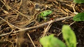 脊椎動物 : Sand lizard. Lacerta agilis in the sun. Sand lizard on the hunt. 18 動画素材