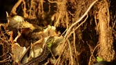 脊椎動物 : Sand lizard. Lacerta agilis in the sun. Sand lizard on the hunt.