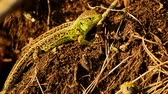 lizard : Sand lizard. Lacerta agilis in the sun. Sand lizard on the hunt. 26