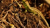 脊椎動物 : Sand lizard. Lacerta agilis in the sun. Sand lizard on the hunt. 27 動画素材