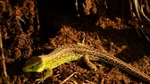 lizard : Sand lizard. Lacerta agilis in the sun. Sand lizard on the hunt.