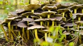 поганка : False mushrooms grow in the forest in September