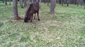 alce : Elk feeds in the forest. The elk is located in the protected area of the Berezinsky reserve. Filmati Stock
