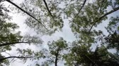 sun ray : Time Lapse sky trees. Among the treetops clouds are flying. Old forest.