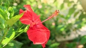 hibisco : Red hibiscus flower on a green background. Vídeos
