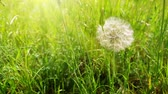 alerji : The wind blows dandelion seeds.