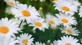маргаритка : White daisies in the summer day. Стоковые видеозаписи