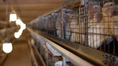 chuck : Breeding broiler chickens and chickens, broiler chickens sit behind bars in the hut, poultry house, production