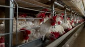 madárinfluenza : Poultry farm for breeding chickens, chicken eggs go through the transporter, chickens and eggs, hens