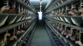 gripe : Poultry farm, chickens sit in open-air cages and eat mixed feed, on conveyor belts lie hens eggs, poultry house