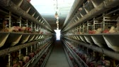 madárinfluenza : Poultry farm, chickens sit in open-air cages and eat mixed feed, on conveyor belts lie hens eggs, chicken farm