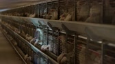 chuck : Breeding broiler chickens and chickens, broiler chickens sit behind bars in the hut, poultry house, chicken coop
