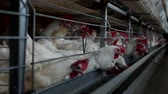 madárinfluenza : Poultry farm for breeding chickens and eggs, chickens pecking feed, close-up, ranch hens