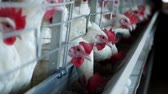 madárinfluenza : Poultry farm for breeding chickens and eggs, chickens pecking feed, close-up, factory hens, ranch