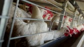 factory farming : Poultry farm for breeding chickens and eggs, chickens pecking feed, close-up, factory hens, farm