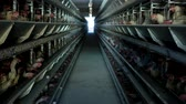 gallo : Poultry farm, chickens sit in open-air cages and eat mixed feed, on conveyor belts lie hens eggs, poultry house
